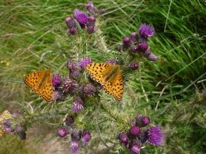 high brown butterflies on thistles